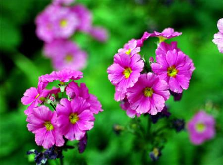 四季樱草的花朵