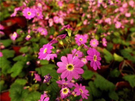 四季樱草的病虫害防治
