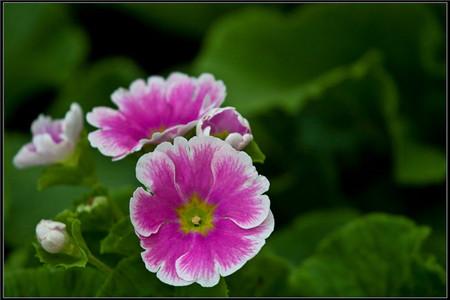 四季樱草的病害防治