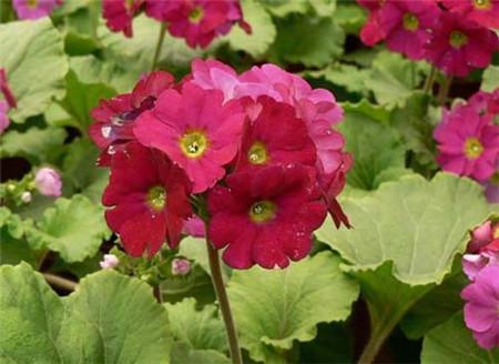 四季樱草的花期控制方法