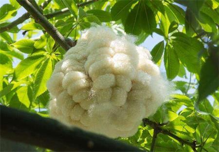 美丽异木棉果实