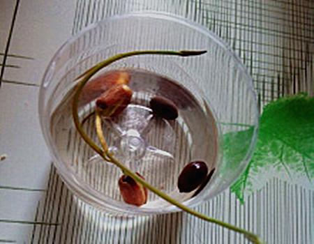 宝莲灯的播种繁殖