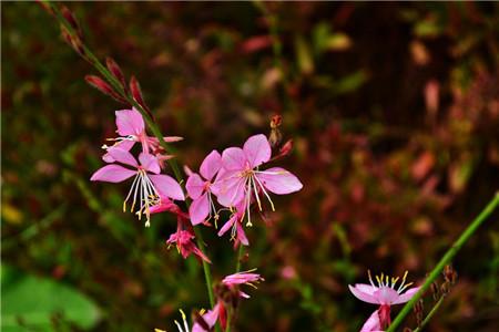 小花山桃草_千鸟花有哪些品种 - 花百科