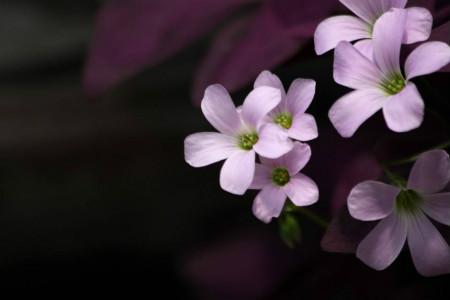 紫叶酢浆草的作用