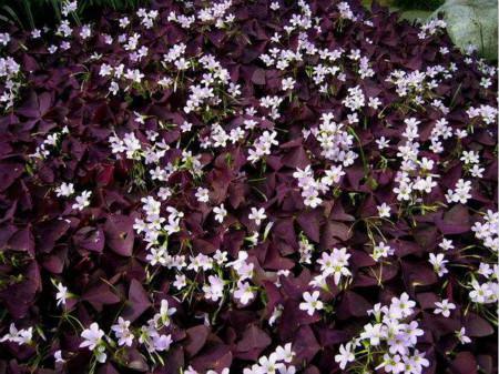紫叶酢浆草的繁殖方法