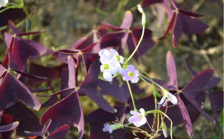 紫叶酢浆草繁殖的注意事项