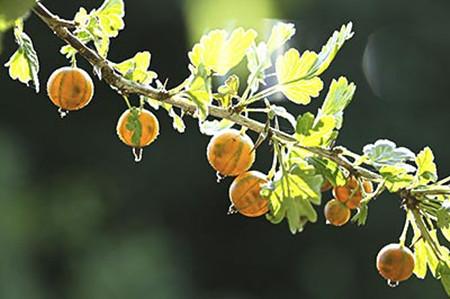 鹅莓土壤选择