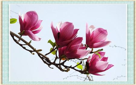 紫玉兰的病害防治
