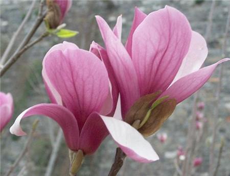 紫玉兰的虫害防治