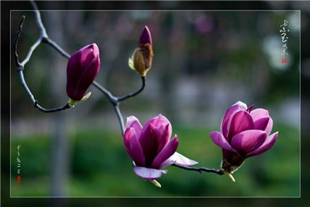 紫玉兰的播种繁殖