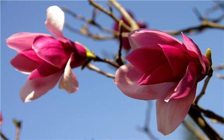 紫玉兰的分株法繁殖