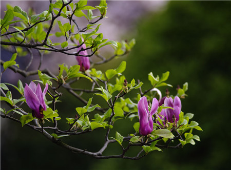 紫玉兰的压条法繁殖