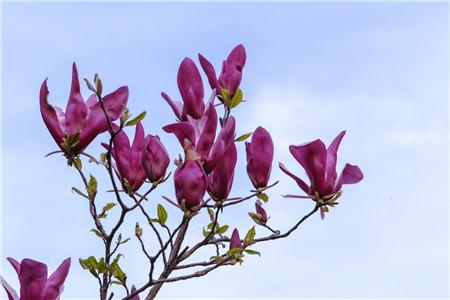 紫玉兰的花期与花语