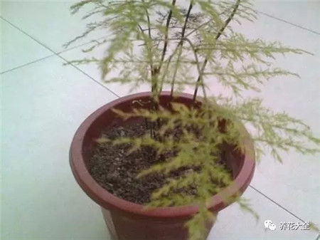 空气干燥引起的黄叶