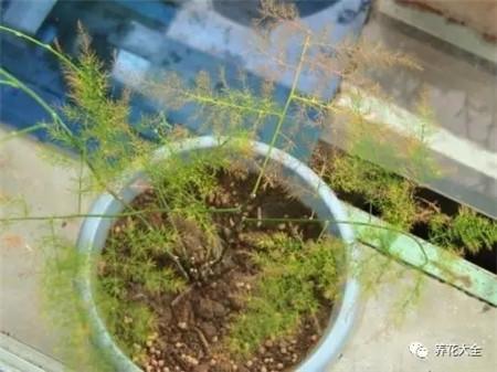 施肥过多引起的黄叶