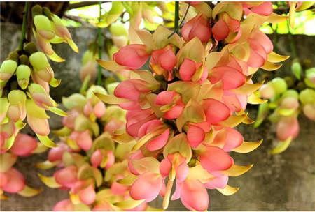 禾雀花开花