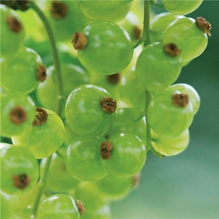 鹅莓的药用价值