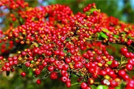 养花网_15种常见观果植物,你都见过吗 - 花百科