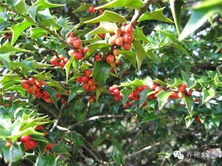 植物红掌怎么养_15种常见观果植物,你都见过吗 - 花百科