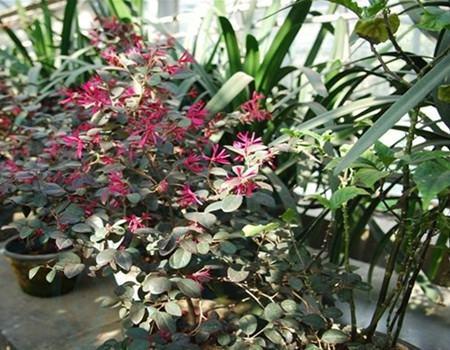 红花继木的常见病害及其防治