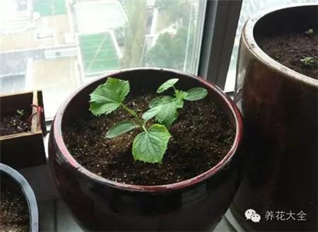 黄瓜小苗-阳台种菜