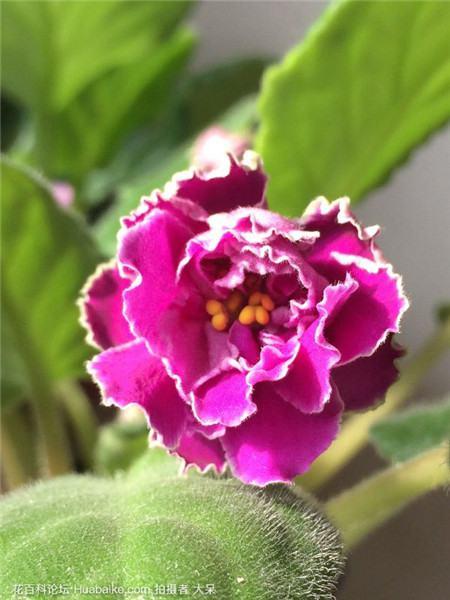 非洲紫罗兰能开多久