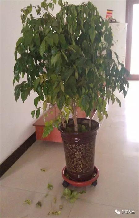 幸福树最适宜的生长温度为20-30℃