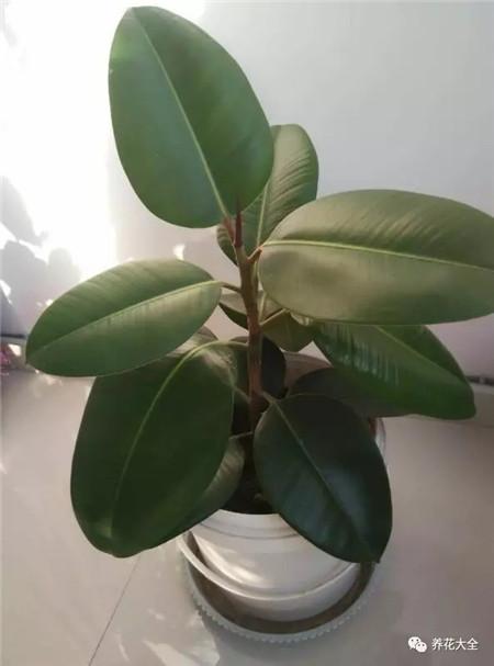 橡皮树掉叶子 橡皮树是常见的一种观叶植物