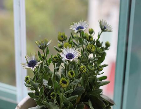 蓝目菊的湿度