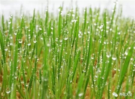 小麦种子收获