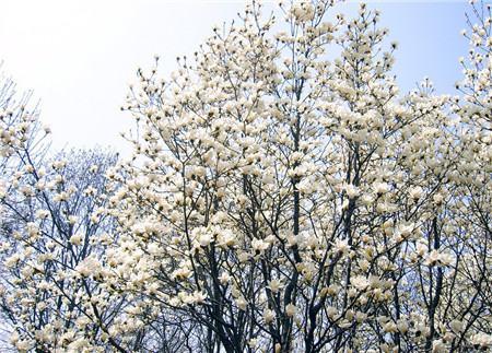 广玉兰链格孢灰斑病