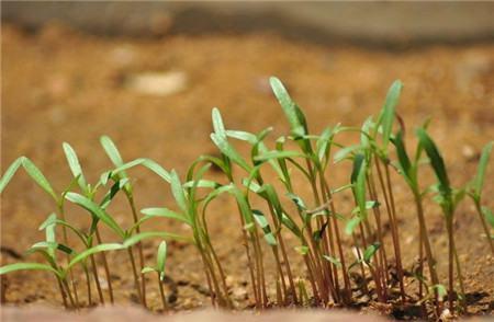 波斯菊的播种方法