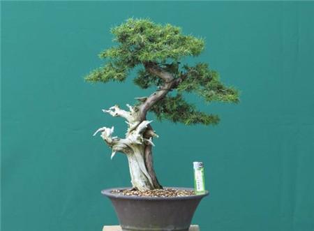 杜松盆景的枝干保护