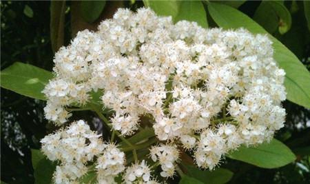 石楠花的花语