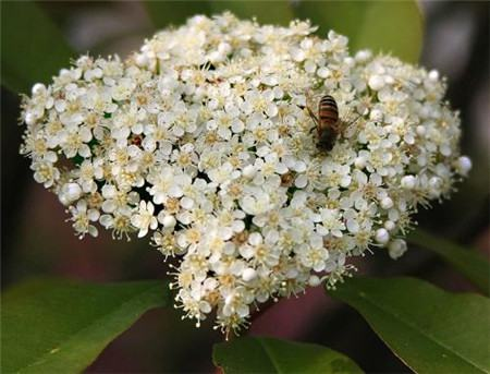 石楠花花节