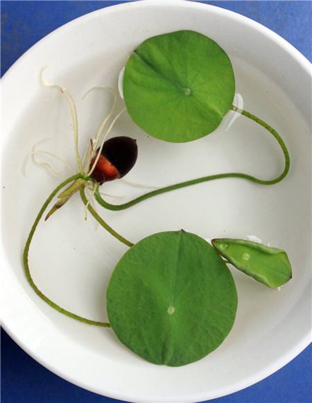 养殖碗莲为什么水总是变浑