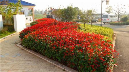 盆栽红叶石楠的的土壤