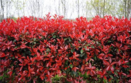 盆栽红叶石楠的上盆