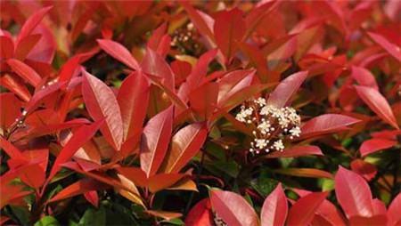 红叶石楠冬季要合理的施肥