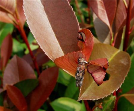 红叶石楠冬季要修剪枝叶
