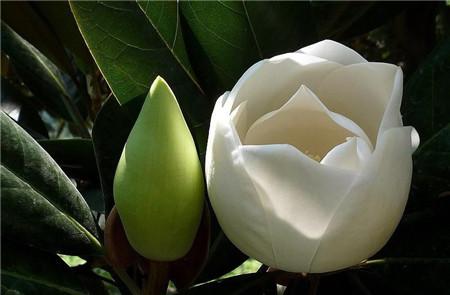 广玉兰不开花是盆栽的容器太小