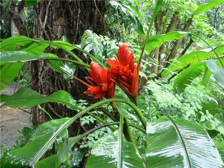 红花蕉的花诗欣赏