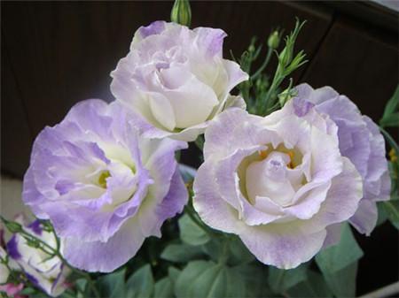 洋桔梗开花前的养护