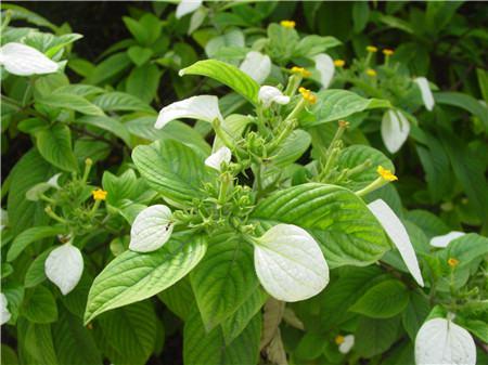 玉叶金花的施肥方法