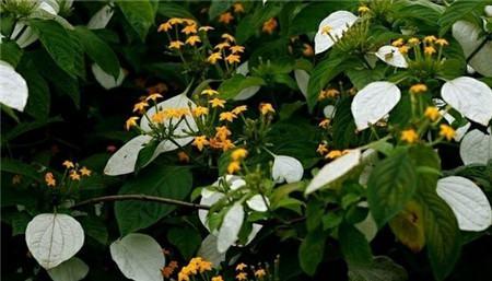 玉叶金花的花期