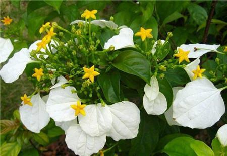 玉叶金花的开花修剪