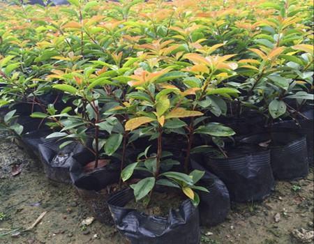 红叶石楠的施肥