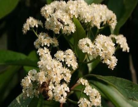石楠花的播种繁殖