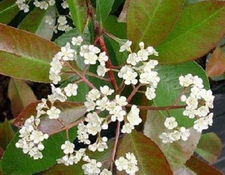 石楠花的扦插繁殖