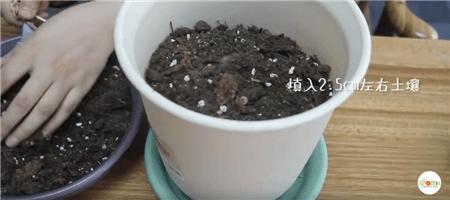 把球根放在盆土中